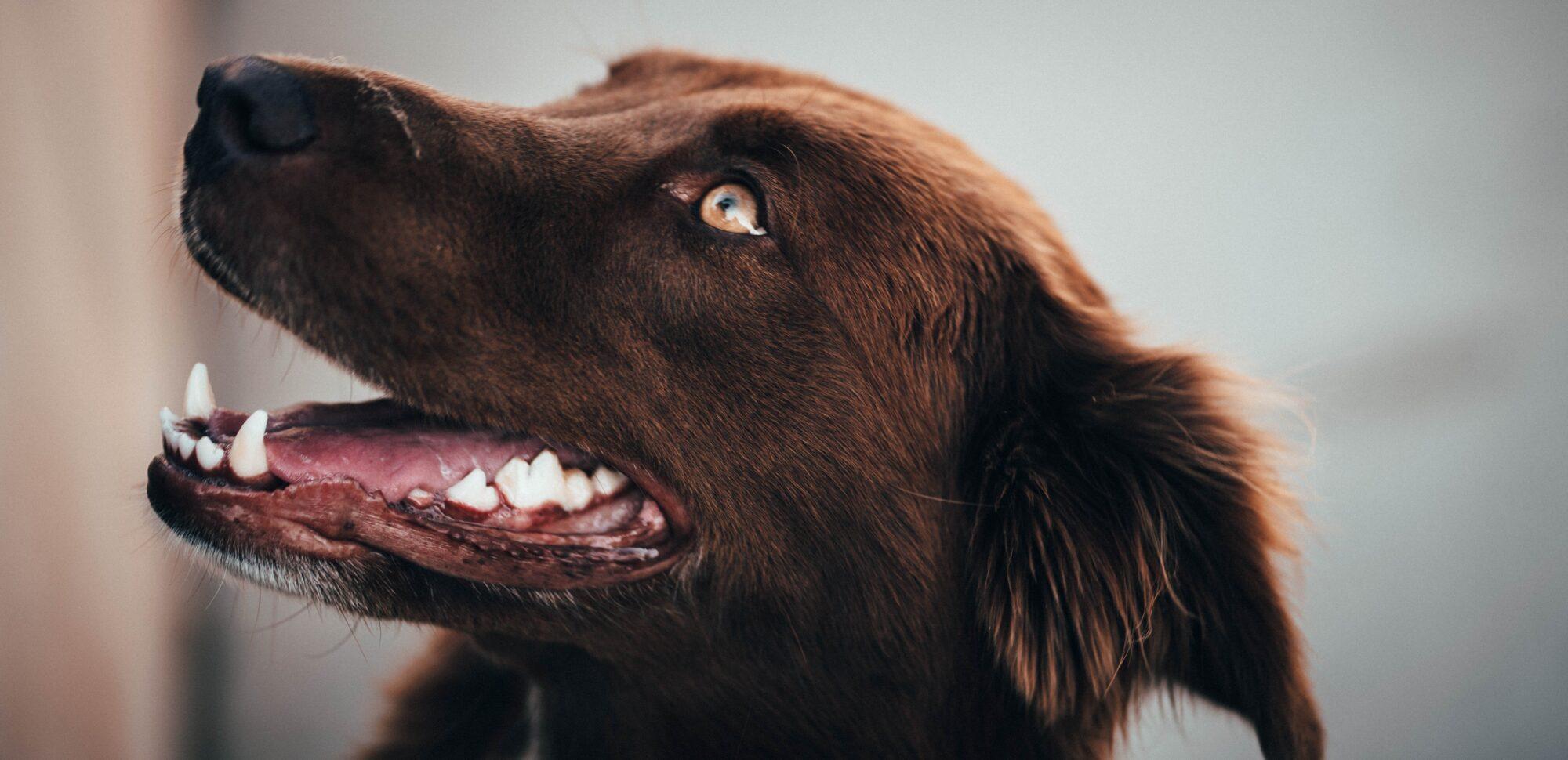 Tandrensning hund – gør noget godt for din bedste ven